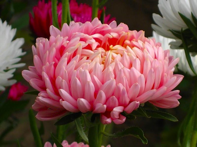 Астры - цветы, которые знает, по…