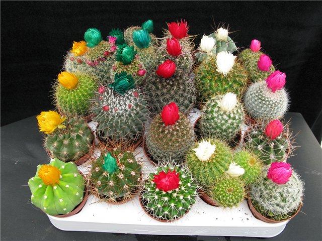 Как ухаживать за кактусами Полив кактусов Пересадка