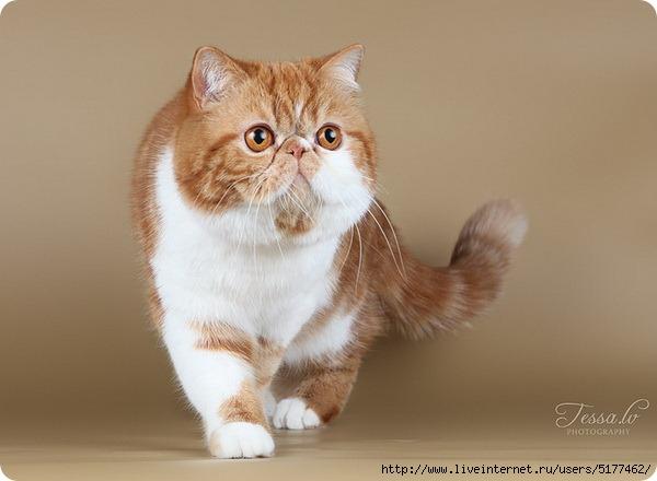 Экзотическая короткошерстная кошка или экзот/5177462_original_6_ (600x440, 113Kb)