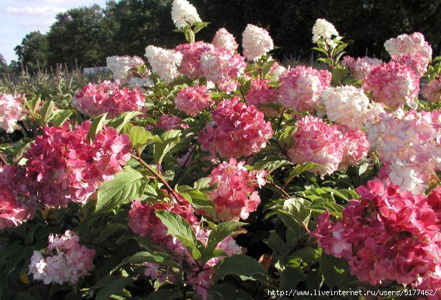 5177462_hydrangea_paniculata_vanille_fraise_2 (640x436, 215Kb)