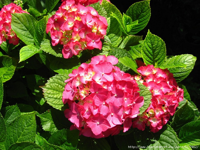 гортензия/5177462_100557114_1328353775_flowers017 (700x525, 344Kb)