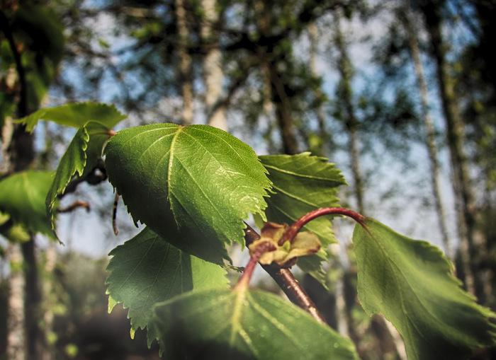 Листья березы/1415502_Bereza (700x509, 126Kb)