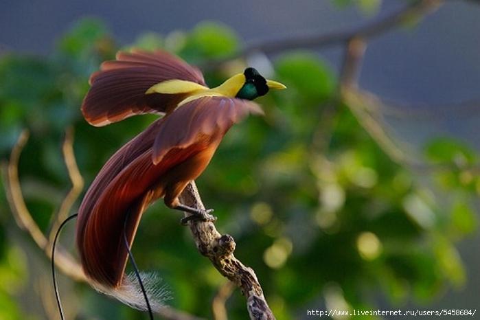 Краснобровая радужная птица