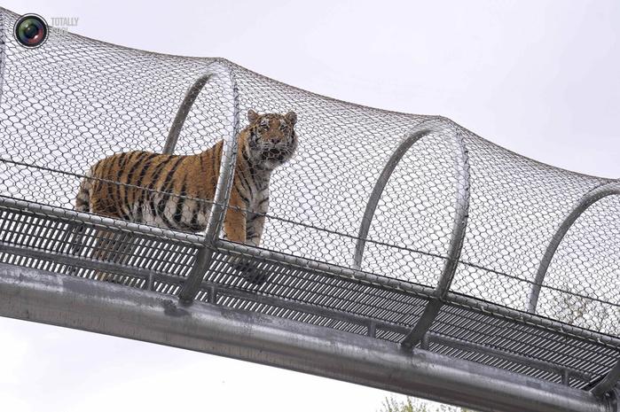 переход для кошек в зоопарке филадельфии 4 (700x465, 322Kb)