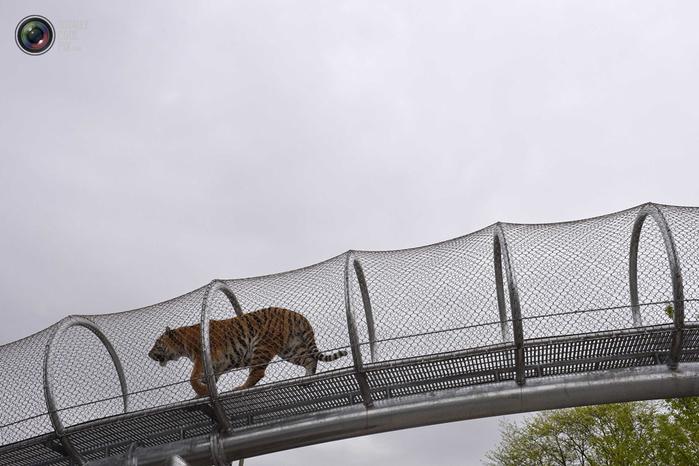 переход для кошек в зоопарке филадельфии 6 (700x466, 242Kb)