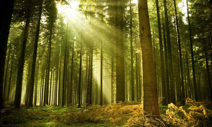 forest-tree-sun-ray-light-spruce-768x1280 (700x420, 119Kb)