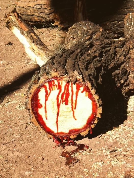 кровавое дерево фото 2 (525x700, 356Kb)
