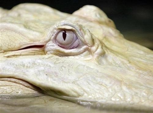 2979159_krokodil (500x372, 46Kb)