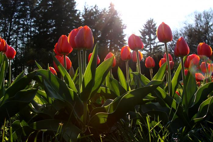 Клумба-красных-тюльпанов-Контражур-1244207425_66 (700x466, 394Kb)