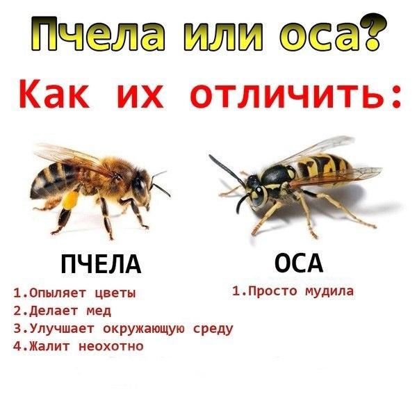 4574032_osa (600x577, 55Kb)
