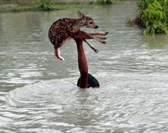 Baby-deer-in-Bangladesh-pixanews-1 (700x551, 72Kb)