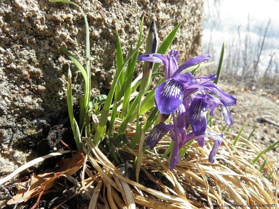 Цветы забайкалья