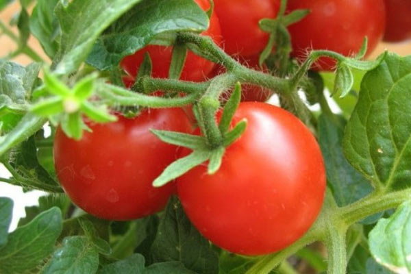 posadka-tomatov (600x400, 45Kb)