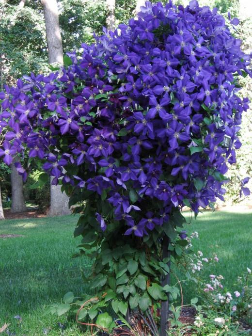 Цветы многолетники клематисы купить