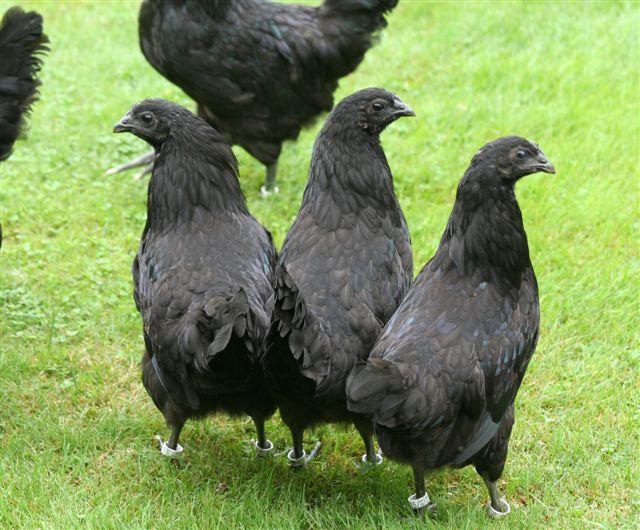 черные куры Ayam Cemani 5 (640x530, 307Kb)