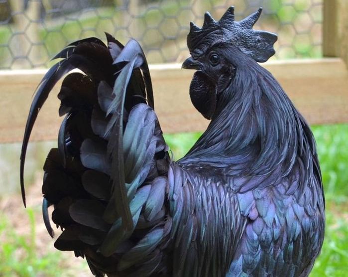 черные куры Ayam Cemani (700x556, 367Kb)