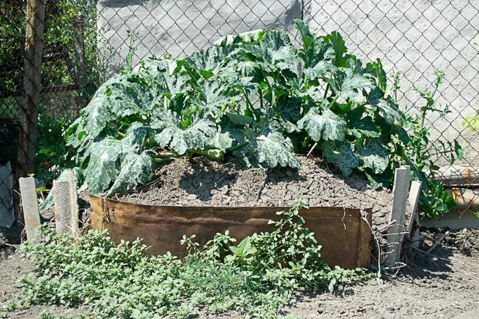 Выращивание огурцов на компостной куче 98