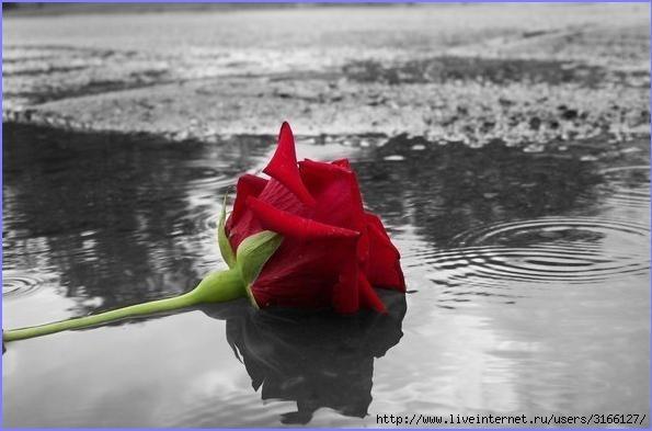 rosa (595x393, 102Kb)