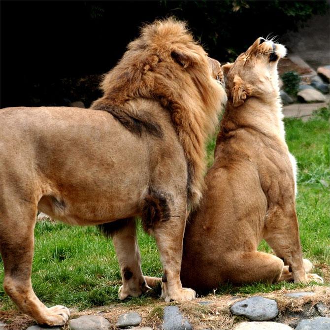 львы фото 4 (670x670, 391Kb)
