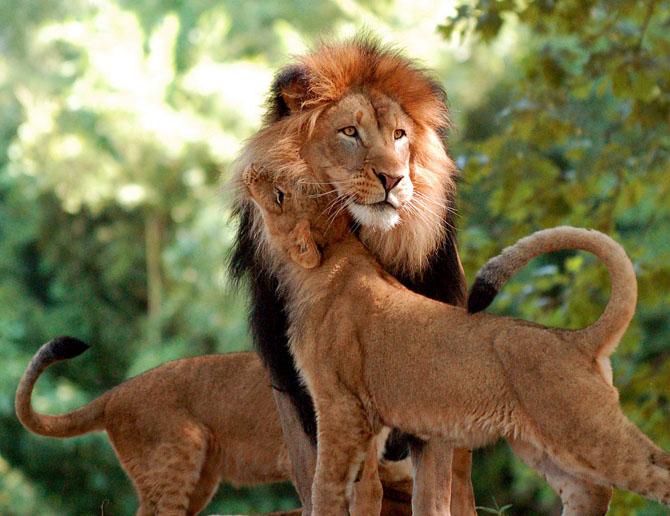 львы фото 6 (670x516, 306Kb)