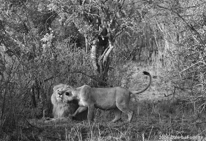 львы фото 17 (670x460, 306Kb)