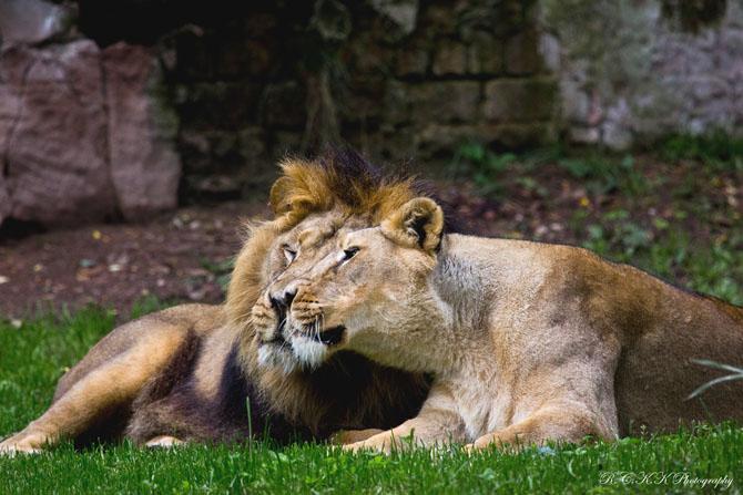 львы фото 19 (670x447, 240Kb)