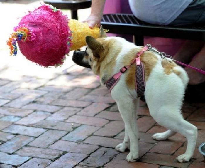 собака хрюшка фото 2 (700x572, 234Kb)