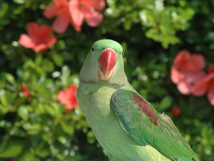 parrot 21 (700x525, 348Kb)