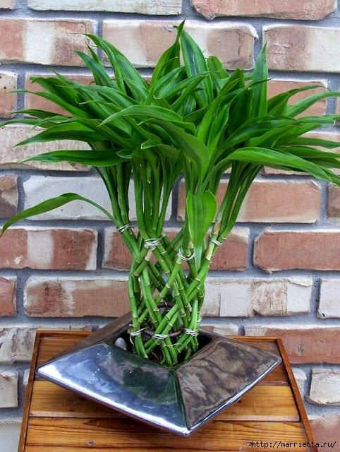 Комнатный бамбук. Красивые идеи и уход за бамбуком в воде (2) (482x640, 269Kb)