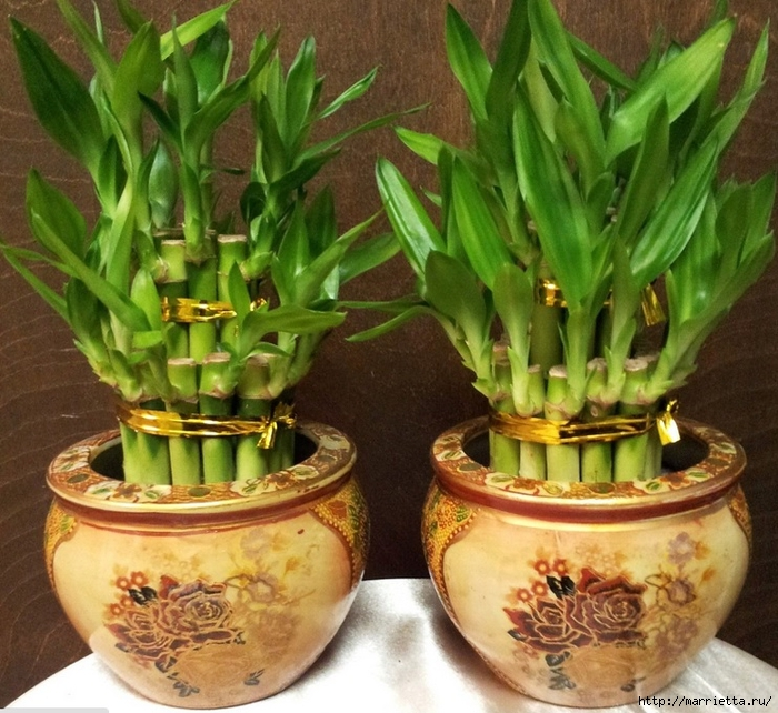 Комнатный бамбук. Красивые идеи и уход за бамбуком в воде (4) (700x642, 360Kb)