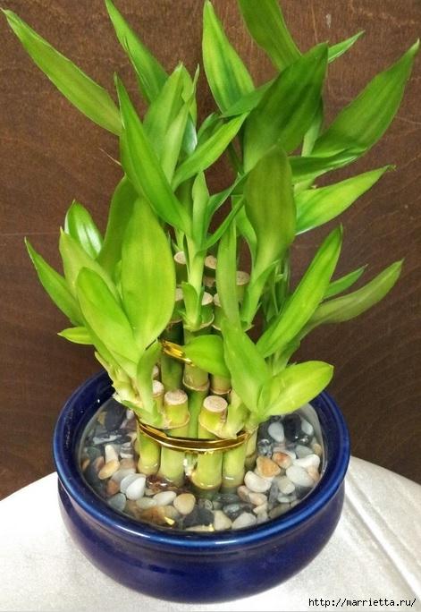Комнатный бамбук. Красивые идеи и уход за бамбуком в воде (8) (471x684, 208Kb)