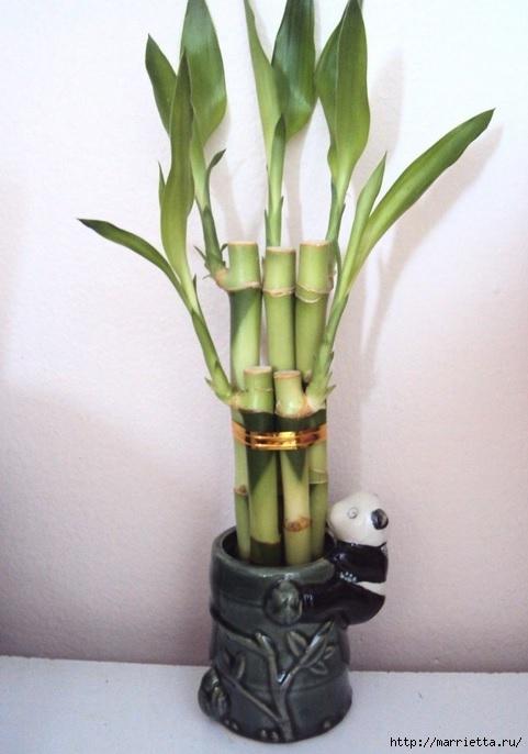 Комнатный бамбук. Красивые идеи и уход за бамбуком в воде (10) (481x686, 155Kb)