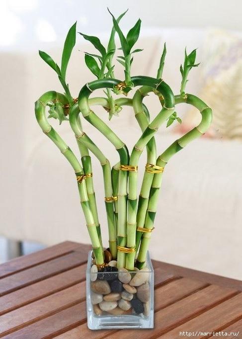 Комнатный бамбук. Красивые идеи и уход за бамбуком в воде (14) (487x682, 186Kb)