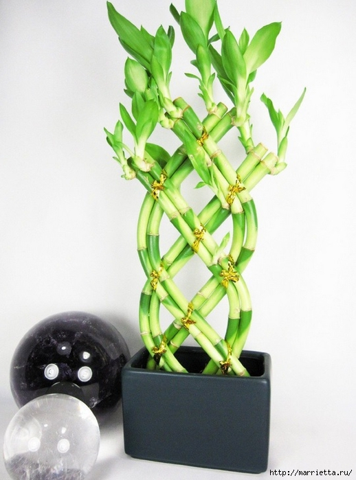 Комнатный бамбук. Красивые идеи и уход за бамбуком в воде (20) (518x700, 217Kb)