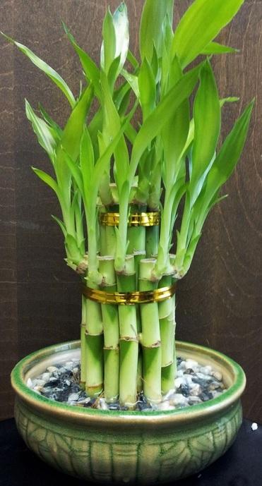 Комнатный бамбук. Красивые идеи и уход за бамбуком в воде (22) (371x689, 248Kb)