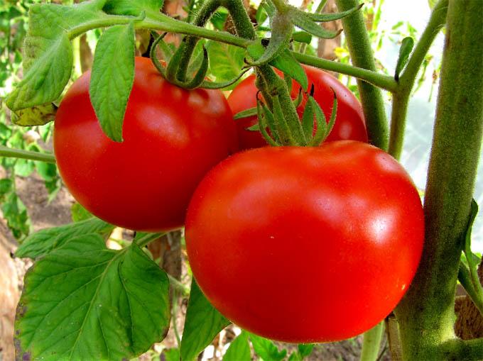 Tomat%20Dagmar2 (610x409, 314Kb)