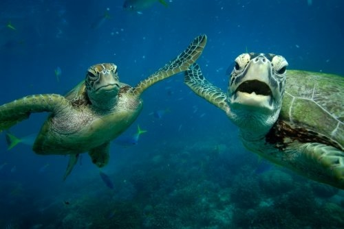 1348828621_green-turtles-1 (500x334, 61Kb)