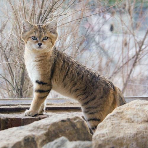 барханная кошка 2 (500x500, 252Kb)