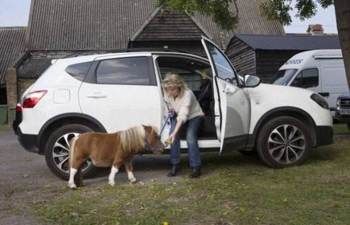 карликовый пони Эйвер фото 5 (700x449, 203Kb)