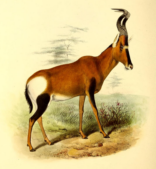 The_book_of_antelopes_(1894)_Bubalis_caama (540x584, 506Kb)