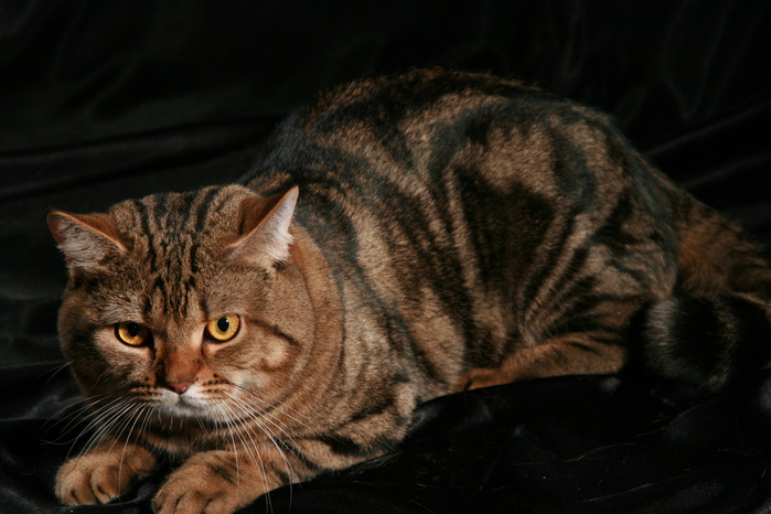 Коты шотландцы мраморные фото