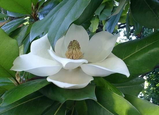 цветы магнолии фото: