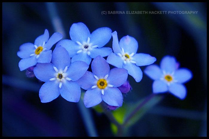 квітка незабудка