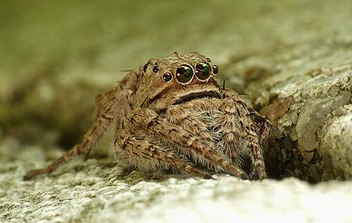 Портия - ассасин мира пауков