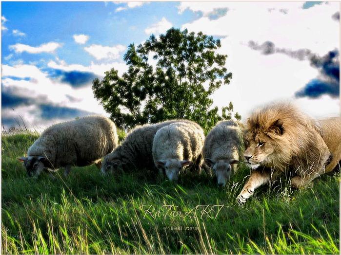 овцы и Лев (699x524, 145Kb)