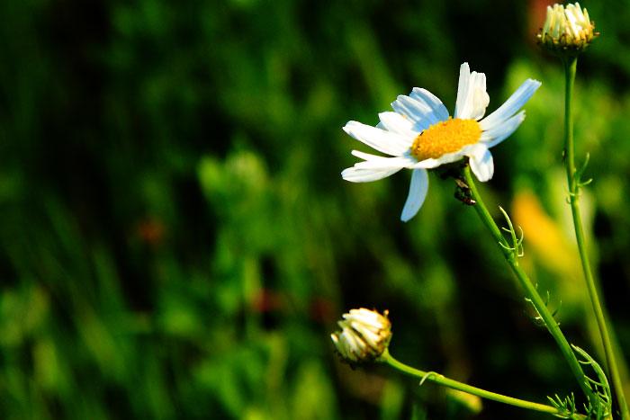 Ромашка. Фото Баба Рая