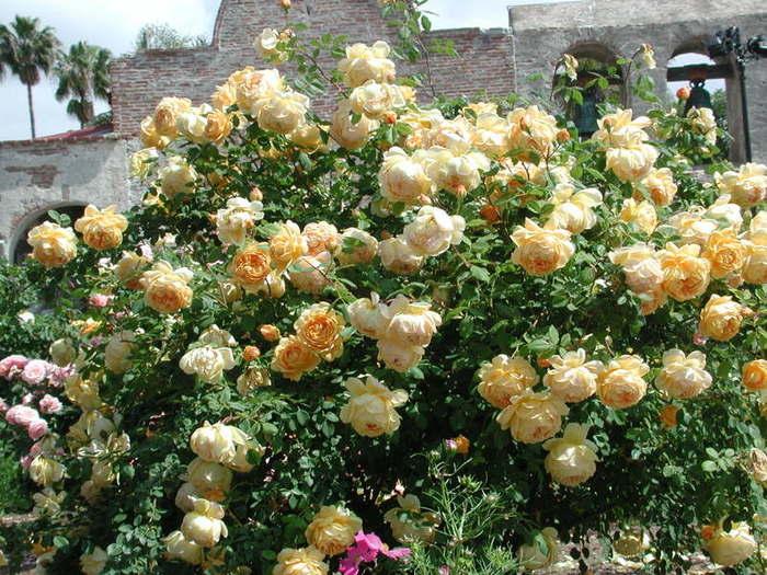 Английские плетистые розы