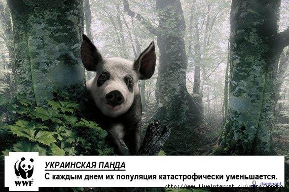 украинская панда (570x380, 67Kb)
