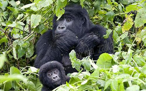 Большая область обитания горилл была спасена
