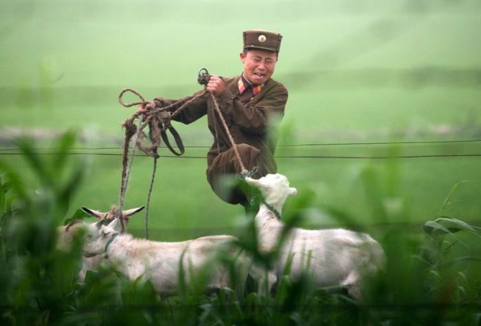 46779659_goat_north_korea_02.jpg